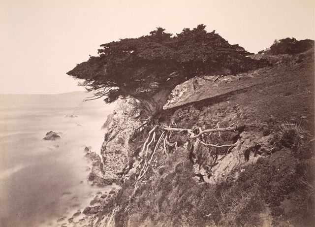 yama-bato:  Carleton Watkins'Cypress Tree at Point Lobos, Monterey County' 1883 – 1885 link