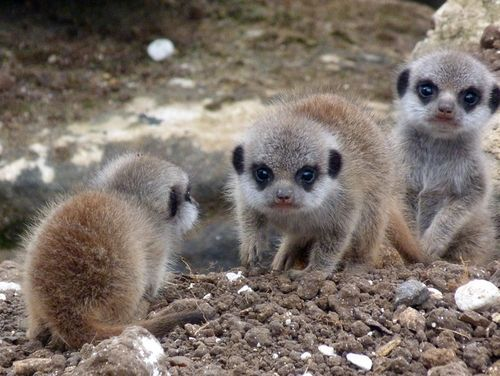 theanimalblog:  (via Meet Marwell Wildlife Park's New Meerkat Babies! - ZooBorns)  These are totally baby ewoks!