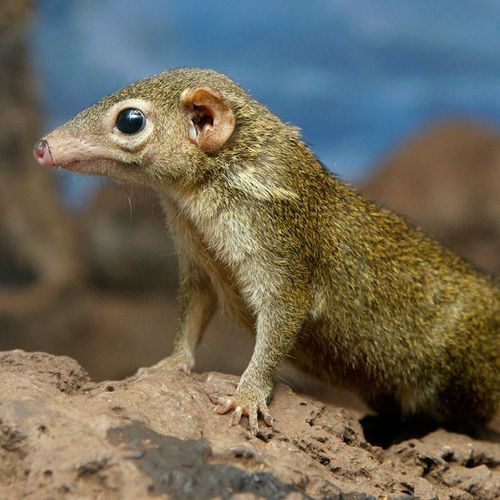 "rhamphotheca:  theanimalblog: Secretive Tree Shrews Give Birth at National Zoo   In August, two baby Tree Shrews were born at The National Zoo. Keepers at the zoo had no idea until the pair were nearly fully grown! This is due to the secretive rearing habits of this small mammals native to Southeast Asia. ""One of the many things that's interesting about [Tree Shrews] is the way they're cared for as young,"" says David Kessler, a biologist at the Zoo. ""What happens is, as soon as they're born, they'll nurse, and they will drink up to 50 percent of their body weight in one nursing. Then they're in a nest, and the female has her own nest separate from where they are, and she'll only come and nurse the young once every 48 hours.""… (read more: ZooBorns)"