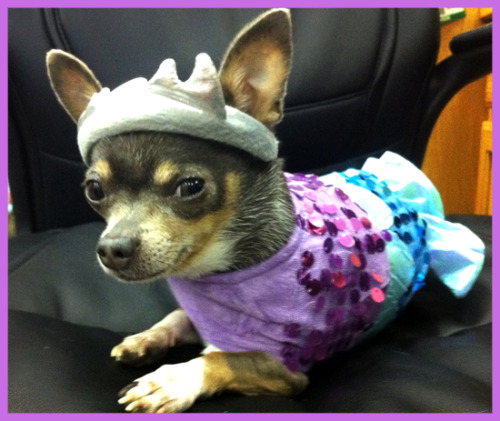 The Glim-Mermaid Dog Costume is a fancy choice for any deserving doggie. It comes decked in sparkling purple and blue sequins that give an ocean feel to this adorable dog costume. There are velcro closures that secure around the neck and and belly for a smooth on and off procedure. There is even an under-the-sea crown to complete the mermaid theme.