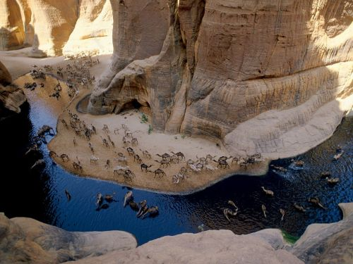 ohscience:  Knee-deep wading is bliss for camels in Chad's Archeï oasis, a canyon whose trapped waters hold a zoological surprise. Fertilized by beasts' droppings, algae are eaten by fish that are preyed upon by an isolated group of crocodiles.