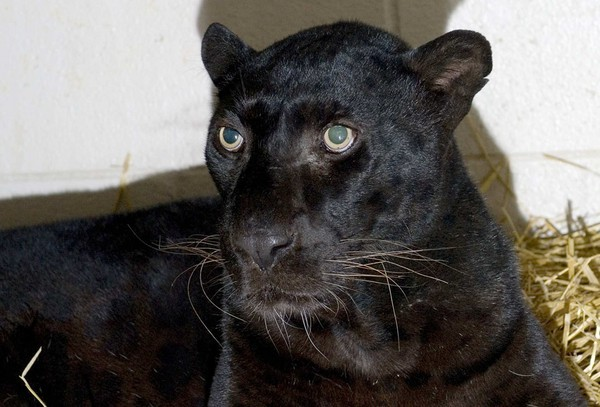"A black leopard, one of six animals rescued from the Muskingum County Animal Farm near Zanesville, Ohio.  A grizzly bear, three leopards and two monkeys are adjusting to their new homes at the Columbus Zoo and Aquarium. The six surviving animals are being held in an isolated area, away from  the public. It is unclear whether they will ever be placed on public  display. ""Right now, they just need a period of quiet,"" Doug Warmolts (director of animal care at the zoo) said. Read more. Photo: Grahm S. Jones / Columbus Zoo and Aquarium"