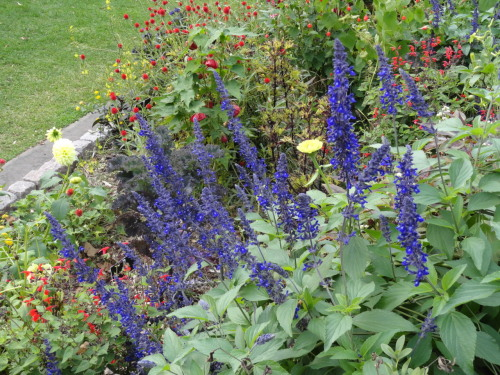 I love blues in the garden and I especially love this Salvia…this annual gets planted every year in my garden!