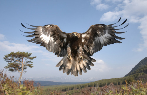 Golden eagle (Aquila chrysaetos) sub-adult female in flight, Cairngorms National Park, Scotland.