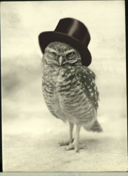 beckersher:  The now even more dapper and slightly arrogant Burrowing Owl.