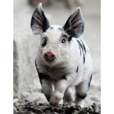 Yes allcreatures:  A Turopolje Piglet runs through its enclosure in the Zurich Zoo, Switzerland Picture: EPA/STEFFEN SCHMIDT (via Animal pictures of the week: 21 October 2011 - Telegraph)