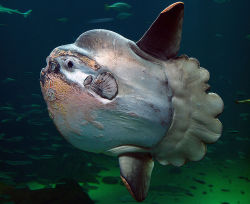 meghsy:  Mola mola!!!!!! ♥  Dream to swim with one of these guys one day.