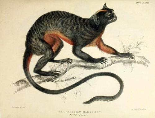 Jacchus rufiventer [now Sanguinus labiatus rufiventer] - Red Bellied Marmoset [Red-Bellied Tamarin] This is actually NOT a marmoset, as the authors believed it was. Tamarins are closely related to marmosets, but they have canine teeth that are larger than their incisors. This means that they can't gnaw on tree bark to eat the gum underneath, like marmosets do. Despite this, their diet is largely the same as their close cousins. Zoology of the H.M.S. Erebus & Terror. John Richardson and John Edward Gray, 1844.