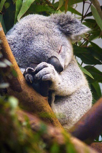 Sleeping koala. Aww…