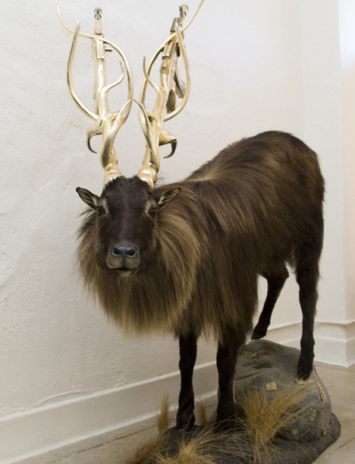 "Peter Gronquist Untitled (Himalayan Tahr) (2011) from ""The Evolution will be Fabulous"" series"