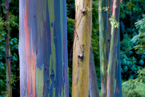 Rainbow eucalyptus trees! These are not painted, but occur naturally as the tree sheds its bark. The bark changes colours, giving the rainbow effect. Yeah nature! From honestlyWTF.