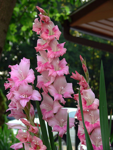 "Gladiolus- Strength of character, remembrance, infatuation, splendid beauty, ""give me a break,"" ""I'm really sincere,"" flower of the Gladiators, admiration, tells recipients that they pierce the heart like a sword."