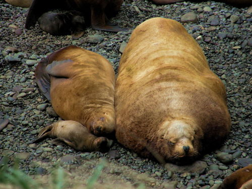 Steller Sea Lions. Taken in Sea of Okhotsk.