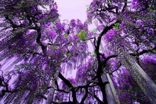 I just love wisteria trees okay.
