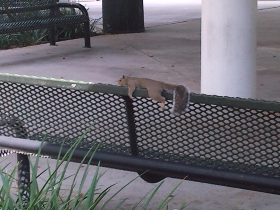 usflife:skylinezd:planking squirrel… nbdOnly at USF.
