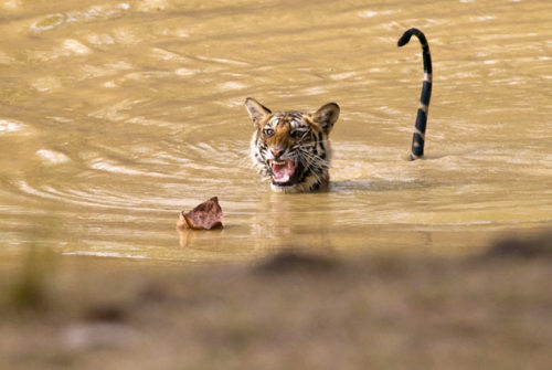 allcreatures:  A 22-month-old female scaredy cat tiger appeared  to get the shock of her young life when she encountered a dead leaf  floating on a pool of water in the Bandhavgarh National Park, India.  Clearly unusure about just what was approaching her, the partially  submerged youngster's tail shot up in the air and with teeth bared she  let out her most fearsome growl - all in an effort to scare the humble  leaf away. Picture: HERMANN BREHM / NPL / Rex Features