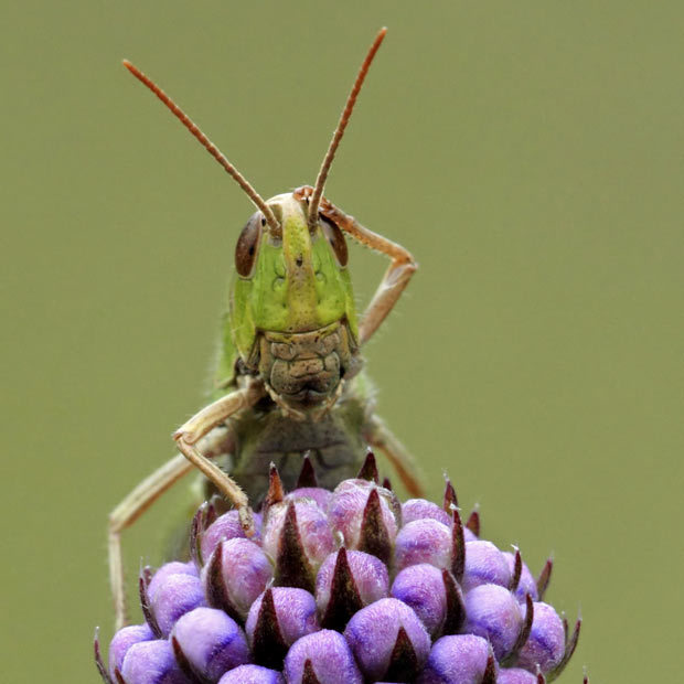 mabelmoments:  Picture: Matt Cole/ Solent Confused grasshopper is confused.