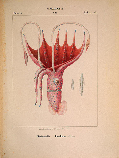 n196_w1150 by BioDivLibrary on Flickr. Histioteuthis bonnellii - The Umbrella Squid Mollusques méditeranéens [!]Gènes :Impr, des sourds-muets,1851.biodiversitylibrary.org/item/104831