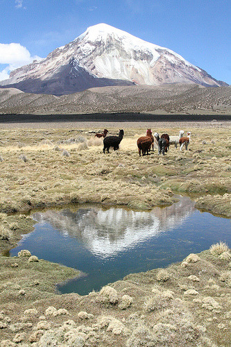 Alpacas roam inside Sajama National Park (Bolivia) (by Yilud)