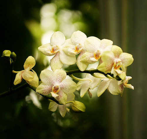 prettylittleflower:  Orchids (by j man (Thanks for your support!))