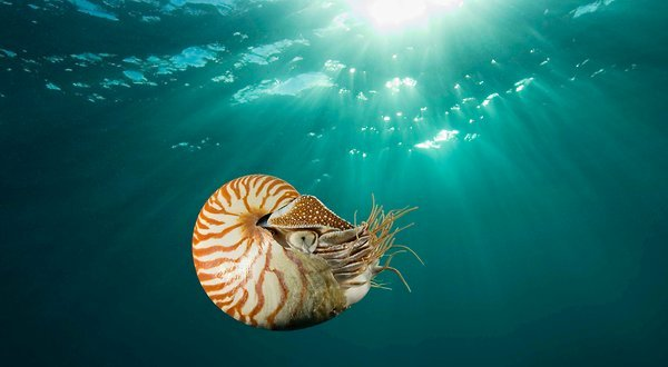 The chambered nautilus, now an endangered species. (Photo: Stuart Westmorland via the New York Times)