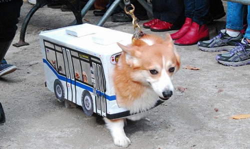 Corgi dressed as an MTA bus is one of the 50 Best Costumes at the 2011 Tompkins Sq Dog Parade. But really, they're all winners. (via BuzzFeed)