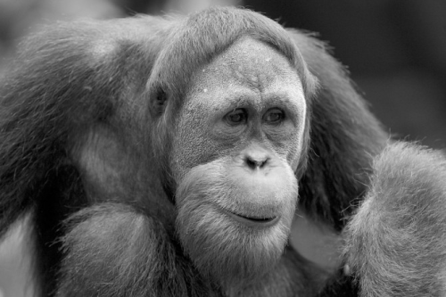 tnhtees:    Energy Efficient Mammals: Orangutans are Extraordinarily Energy Efficient