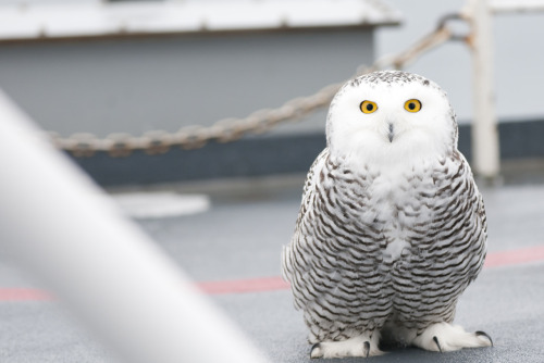 usflife:  Hedwig?! This photo was taken by USF scientists while in the Arctic region studying ocean acidification.   Interesting little fellow.. :-)