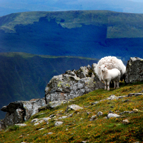 Mountain sheep on top of Cader Idris - Snowdonia National Park - Wales