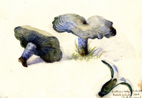 Watercolor, Lactarius indigo (Indigo Milk Mushroom), by Eliza Beulah Blackford (1910). Farlow Archives of Cryptogamic Botany, Harvard University Herbaria.