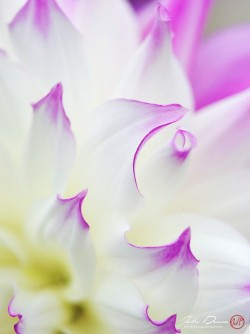 johndunnephotography:  (via A Floral Image | Lavender Tips)