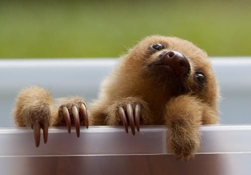 callusdirtbags:  oh my god  oh my god oh my god i need a sloth.