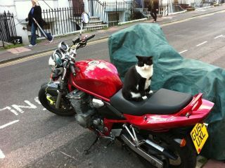 get off of there cat. you cannot ride a motorcycle. you don't even have a helmet.