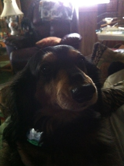 Schatzi, my grandma's dog.   -submitted by castrophone