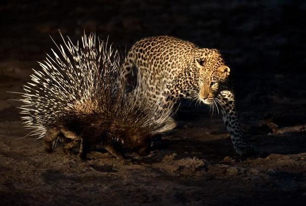 CIWEM Environmental Photographer of the Year 2011 Awards: A male leopard tries to stalk and hunt a porcupine in Mashatu Game Reserve, Botswana. Picture: Shem Compion / EPOTY.ORG / Barcroft Media