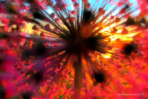 An Extreme Flower Sunset (Extreme HQ) on Flickr.One of my personal favorites of mine. Taken in june 5 on our countryplace.