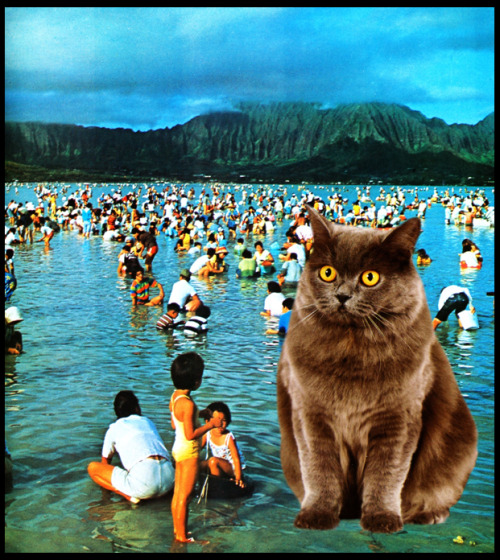 catjawn:  hawaiian cat has a timeshare in maui