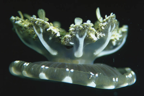 Upside-down Jellyfish (Cassiopeia Andromeda)  A type of jellyfish that usually lives in intertidal sand or mud flats,  shallow lagoons, and around mangroves. This jellyfish, many times  mistaken for a sea anemone,  usually has its mouth upward on the bottom. Its bell, which is  yellow-brown with streaks and spots that are white or pale, vibrates to  make the water flow through its arms for respiration and the obtaining  of food.