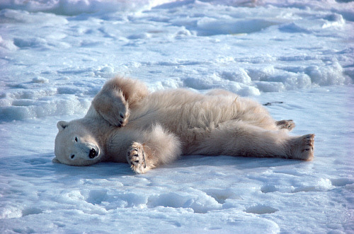 theanimalblog:  Reclining Polar Bear rolls on the ice at the edge of Hudson Bay. Churchill, Canada | By Bryan & Cherry AlexanderSubmitted by The Polar Bear Blog