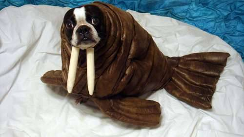 Echo the Walrus