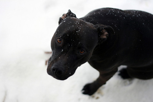 Pitbull by DCsportFan on Flickr.