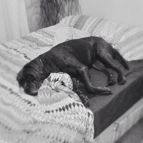 No sooner am I out of the bed, then somebody nicks the hotspot #canecorso #mastiff #italianmastiff #Petstagram #ifuckinglovemydog  (Taken with Instagram at Home sweet home)