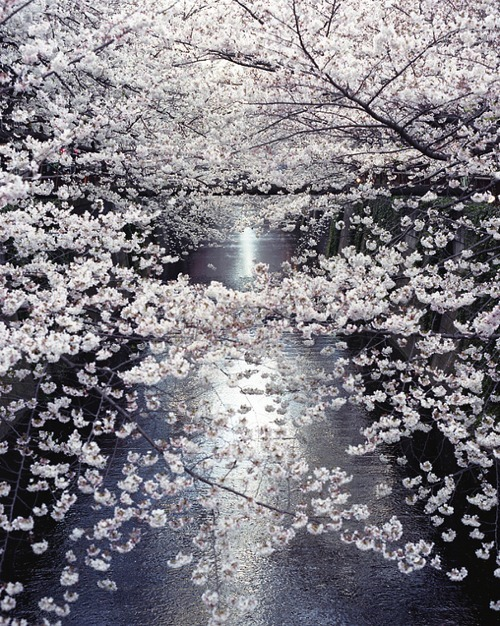 Cherry blossoms by moonlight (via Visual diary of Francisca Pageo)