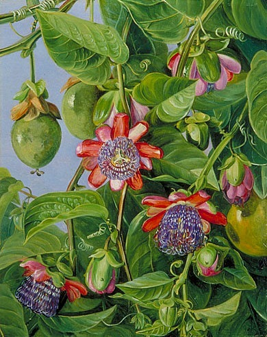 stilllifequickheart:  Marianne North Flowers and Fruit of the Maricojas Passion Flower 19th century  Passiflora is one of Tennessee's State Wildflowers. While this plant is not hardy, it does reseed itself every year.