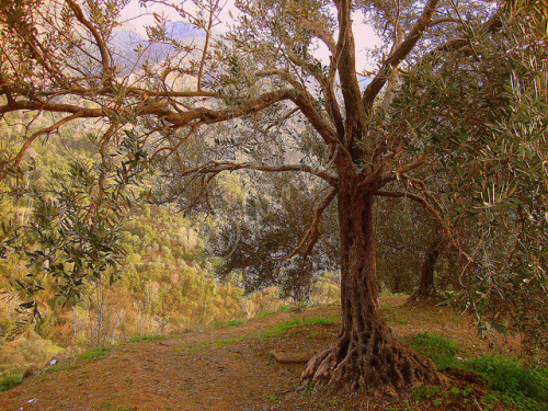 adimlylitmirror:  Olive Tree Grove on Flickr.