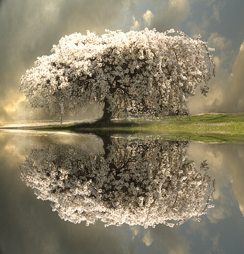 Blossom tree reflection (via  Atypical Type A)