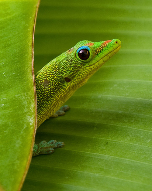 Gecko on Banana leaf by Charlie VanTassel