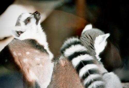 saturday at the zoo. the lemurs enjoyed the autumn sun.