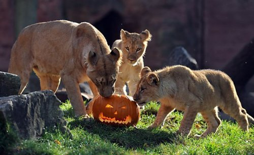 suitep:  Binta and her cubs, Joco and Zari, sniff a suspicious pumpkin filled with meat before tearing it to pieces at the zoo in Hanover, Germany.