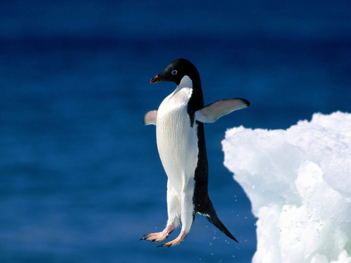 c-h-a-o-s:  Penguin try to fly (by Sachin Tomar's)    why do women wear thong panties